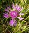 photo: Meadow knapweed
