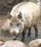 Eurasian swine*