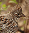 Ruffed Grouse Management Areas (RGMAs)