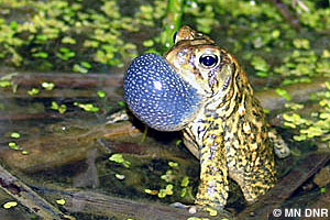 Calling hybrid American-Canadian toad
