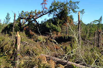 Photo of downed jack pine after July 2, 2012 storm.