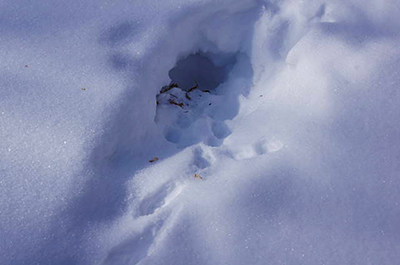 Photo of ruffed grouse snow roost
