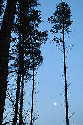 Photo of moon rising through jack pine at Badoura Jack Pine Woodland SNA