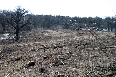 Photo of tree removal at Swedes Forest SNA