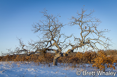 Photo of bur oak at Uncas Dunes SNA