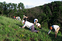 Photo of volunteers removing invasive species