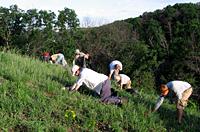 Photo of volunteers removing invasive species