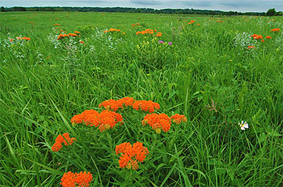 Photo of butterfly weed at Kasota Prairie SNA