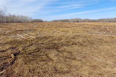 Photo of brush mowed area at Two Rivers Aspen Parkland SNA.