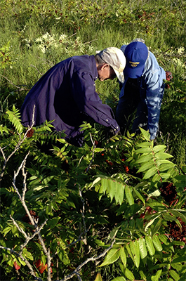 Volunteers cutting sumac