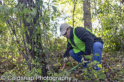 Photo of person cutting buckthorn