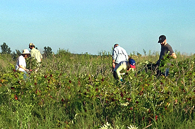 Photo of volunteer removing invasives from prairie