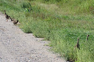 Photo of young prairie chicken at Felton Prairie SNA