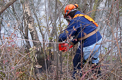 Photo of site steward removing buckthorn