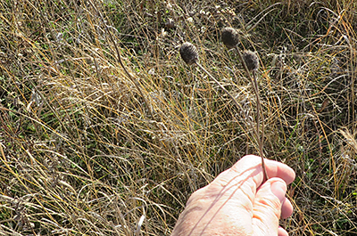Photo of hand collecting native prairie seed