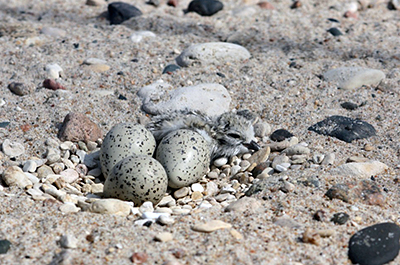 Photo of piping plover chick and eggs