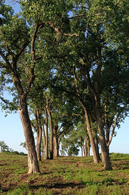 Photo of cottonwood treeline denoting position of former township road