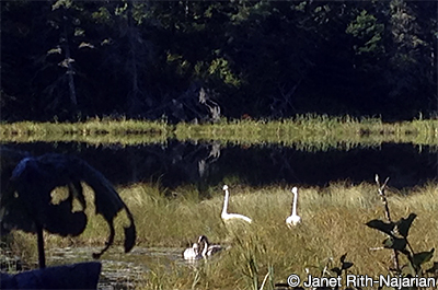 Photo of trumpeter swans on Bohall Lake, Itasca Wilderness Sanctuary