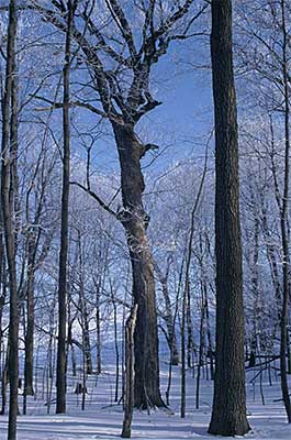 Photo of Big Woods in winter at Wood-Rill SNA