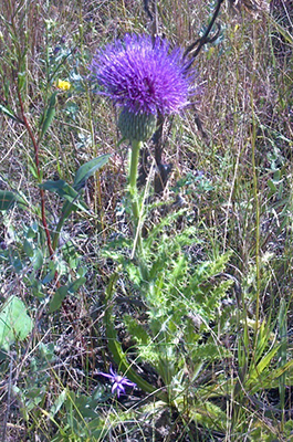 Photo of Hill's thistle bloom