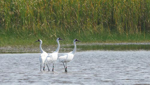 Cranes feeding in habitat maintained by Cambridge area wildlife staff.