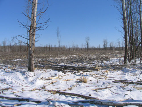 Open brushland habitat in the Thief River Falls area.