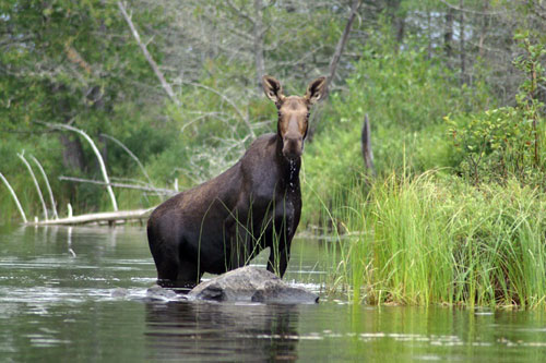 A cow moose browses in and along a Two Harbors area stream.