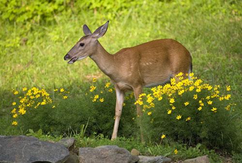 A doe eating flowers in a garden