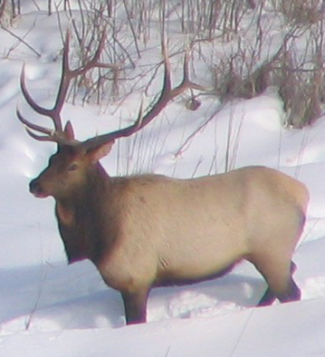 A bull elk in northwestern Minnesota during winter
