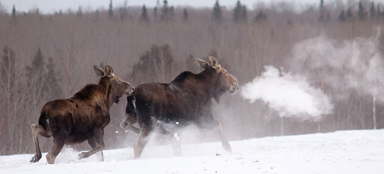 Moose cow leading calf in winter near Grand Marias, Minn.