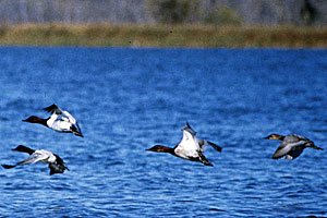 Canvasbacks ducks in flight