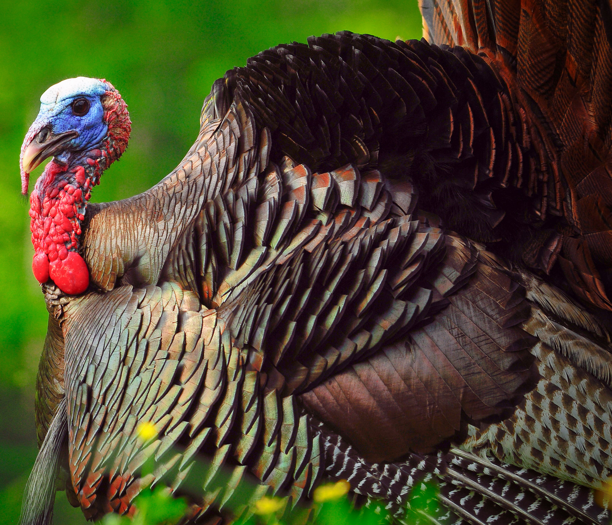 An eastern wild turkey