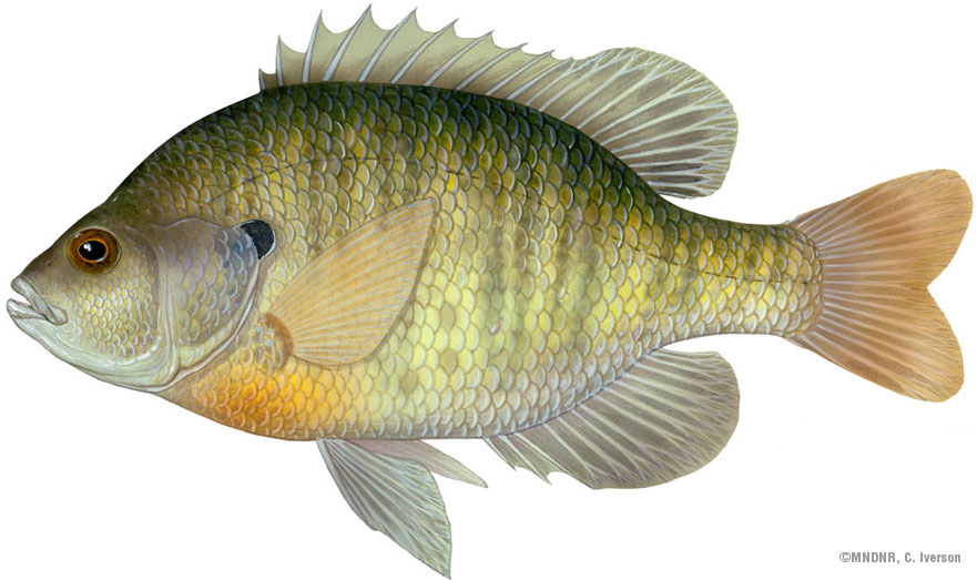 Illustration of a bluegill