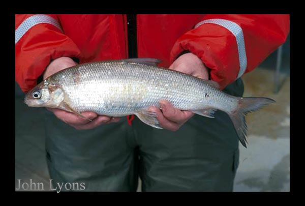 Photo: Lake Whitefish photo taken by John Lyons, Wisconsin DNR