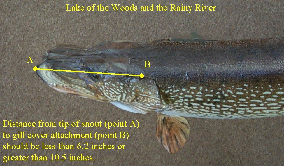 Photo: Measurement used to help estimate the length of a northern pike