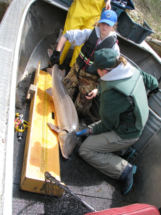 Photo: DNR Workers preparing to measure a Lake Sturgeon