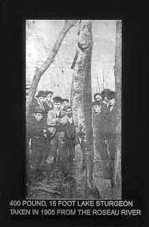 Photograph from 1905 of young and old anglers standing around a 400 pound, 15 foot lake sturgeon taken from the Roseau River in Minnesota.