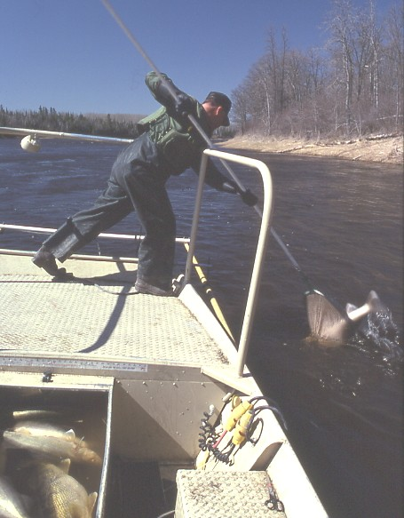 Photo: Dipping a stunned walleye in the Rainy River