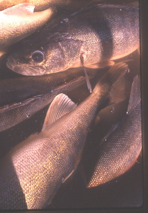 Photo: Walleyes that were sampled by electrofishing in the Rainy River