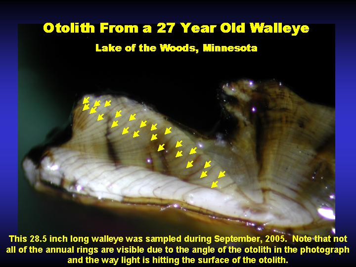 Photo: Otolith from 27 year-old walleye