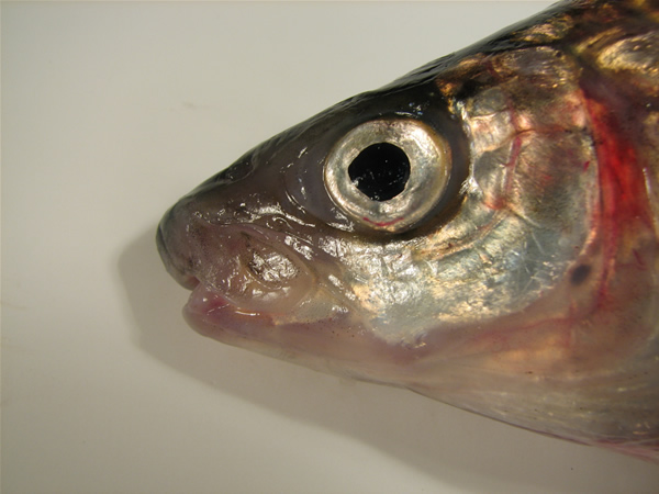 Photo: Lake whitefish depicting snout overhanging its lower jaw