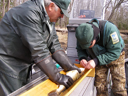 Fisheries researchers measure and tag a walleye on the Rat Root River in an effort to learn more about spawning areas.