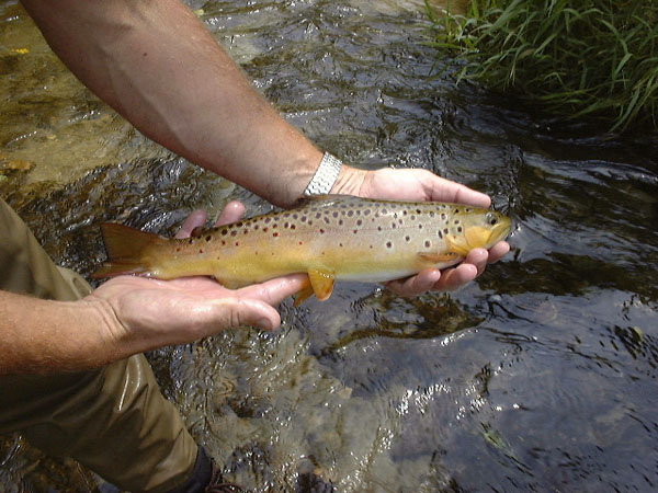 Cold Spring Brook brown trout