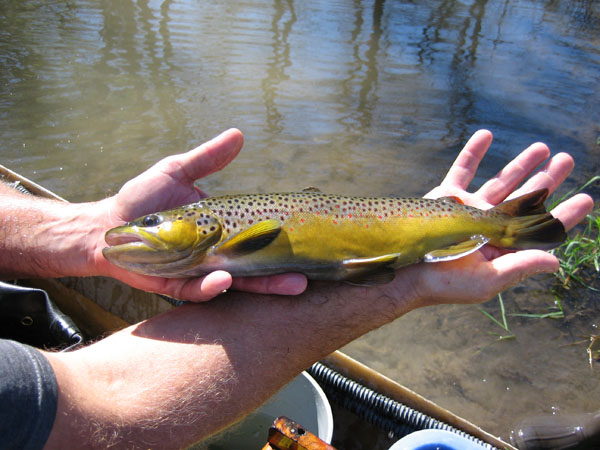 Winona County brown trout