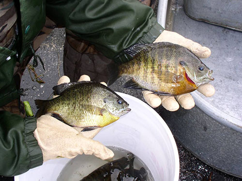 A pair of bluegills caught during a spring assessement