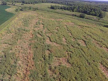 Aerial view of bear damage to a cornfield.