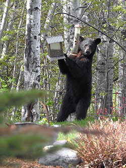Black bear pulling a bird feeder.