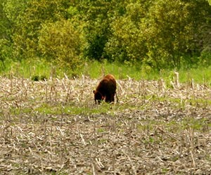 Adult black bear with ear tags in a field of harvested corn.