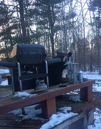 Adult black bear on deck behind grill.