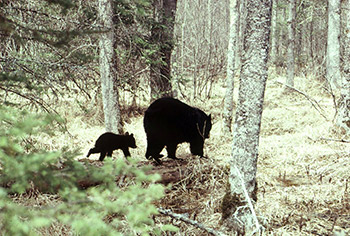 Mother black bear and cub walking through a forest.